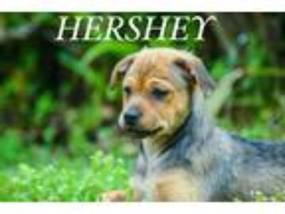 Adopt Hershey a Tan/Yellow/Fawn - with Black Pug / Mixed dog in Freehold