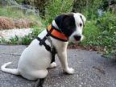 Adopt Jack Cookie a Labrador Retriever, Terrier