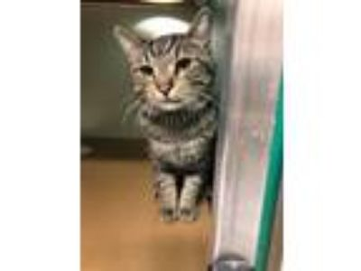 Adopt Marty a All Black Domestic Shorthair / Domestic Shorthair / Mixed cat in