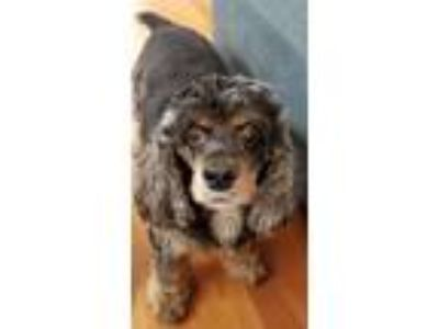 Adopt Chloe a Brown/Chocolate - with Tan Cocker Spaniel dog in Torrance