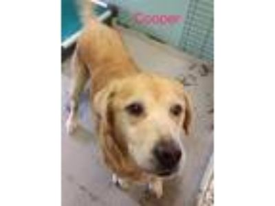 Adopt Cooper a Tan/Yellow/Fawn Labrador Retriever / Mixed dog in Mohawk