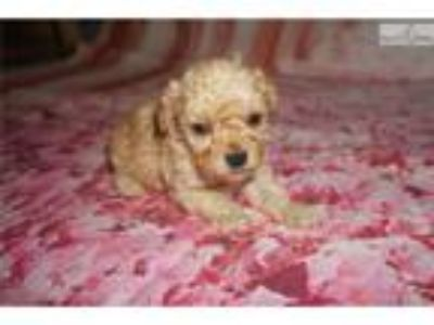 Orbit Beautiful Light Red Male CKC Toy Poodle