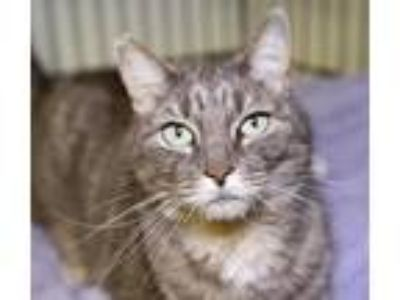 Adopt Sally a Gray, Blue or Silver Tabby Domestic Shorthair (short coat) cat in