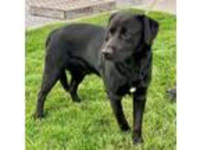Adopt Midnight a Labrador Retriever