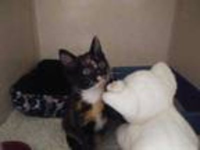 Adopt Katy a Brown or Chocolate Domestic Shorthair / Domestic Shorthair / Mixed