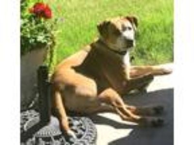 Adopt Pete a Tan/Yellow/Fawn - with White Boxer / Labrador Retriever / Mixed dog