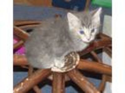 Adopt Ricki a Domestic Short Hair