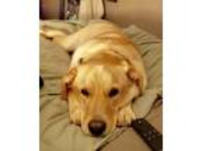 Adopt Manning a Tan/Yellow/Fawn Labrador Retriever / Mixed dog in Harrisburg
