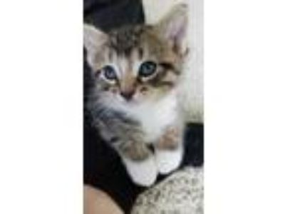 Adopt Chip a Brown or Chocolate Domestic Shorthair / Domestic Shorthair / Mixed