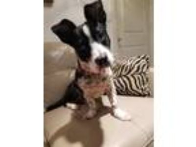 Adopt Oreo a Black - with White Basset Hound / Border Collie / Mixed dog in