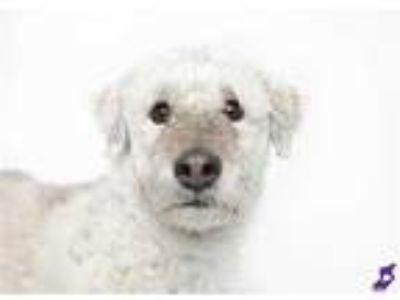 Adopt SCOOBY a Gray/Blue/Silver/Salt & Pepper Poodle (Standard) / Basset Hound /
