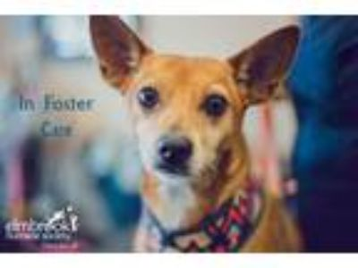 Adopt Chocolate a Jack Russell Terrier