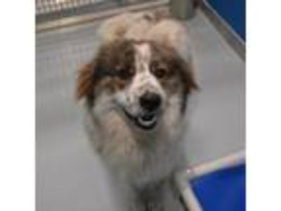 Adopt Bell a White - with Tan, Yellow or Fawn Australian Shepherd / Great