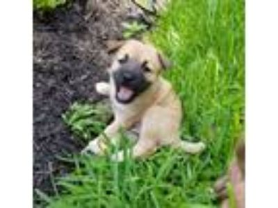 Adopt Cheerio NR a Tan/Yellow/Fawn - with Black German Shepherd Dog / Labrador