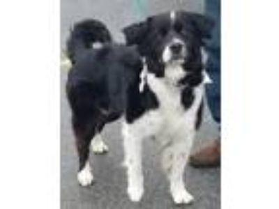 Adopt Lizzy DG in AR a Border Collie