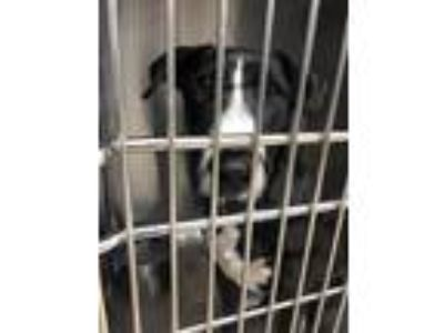 Adopt Isabell a Black Bull Terrier / Labrador Retriever / Mixed dog in Fort
