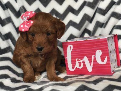 Puppy - Chesapeake Classifieds - Claz org