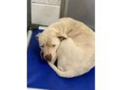 Adopt Ghost a White American Pit Bull Terrier / Mixed dog in Greenwood