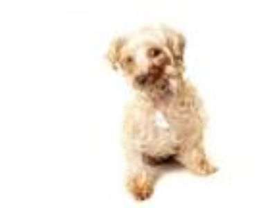 Adopt Phoebe a Yorkshire Terrier, Poodle