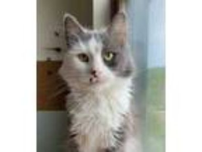 Adopt Miss Kitty Fantastico a White Domestic Mediumhair / Mixed cat in