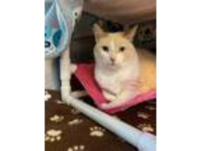 Adopt Maizy a Orange or Red Domestic Shorthair / Domestic Shorthair / Mixed