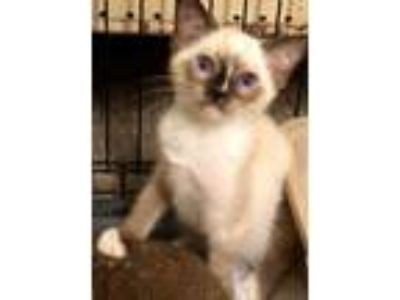 Adopt Zoltan a White Siamese / Snowshoe / Mixed cat in McDonough, GA (25577329)
