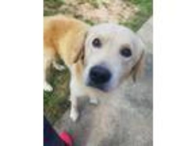Adopt Costa a Tan/Yellow/Fawn Golden Retriever / Mixed dog in New Canaan