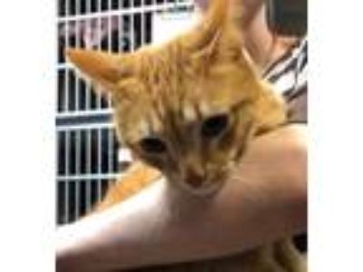 Adopt Little Tiger a Domestic Shorthair / Mixed cat in Canon City, CO (25032041)