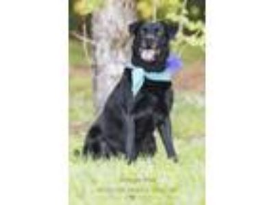 Adopt Maggie Mae a Black Labrador Retriever / Mixed dog in Webster