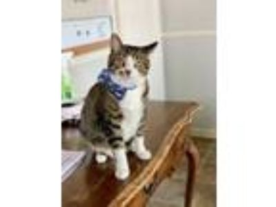 Adopt Kruger a Domestic Short Hair