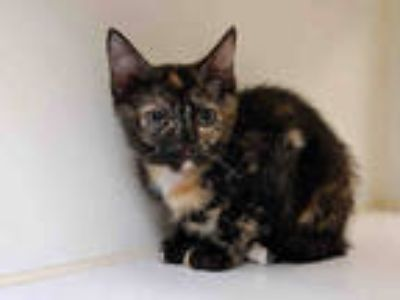 Adopt LONI a Tortoiseshell Domestic Shorthair / Mixed (short coat) cat in Texas