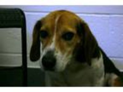 Adopt Clement a Beagle / Mixed dog in Pittsburgh, PA (25908524)