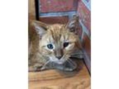 Adopt Ginger a Tabby