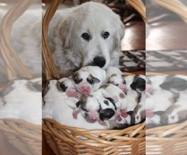 Great Pyrenees PUPPY FOR SALE ADN-130912 - Mason and Dixie Pups