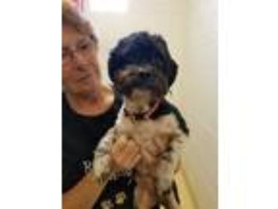 Adopt Peachy Keen a Shih Tzu / Mixed dog in Alexandria, VA (25859022)