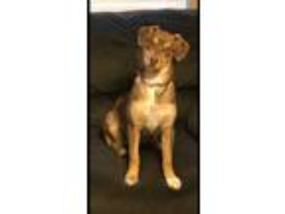 Adopt Jill a Brown/Chocolate Shepherd (Unknown Type) / Mixed Breed (Medium) dog