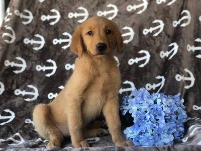 Golden Retriever PUPPY FOR SALE ADN-94042 - Esther