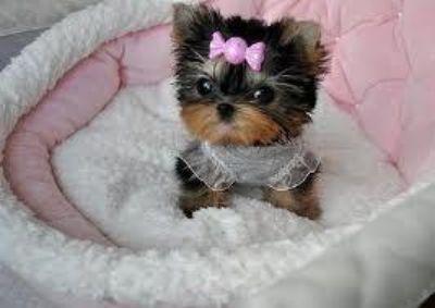 Beautiful and sweet Bichon Shih Tzu X with Yorkie for sale