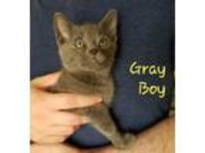 Adopt Gray Boy a Domestic Short Hair