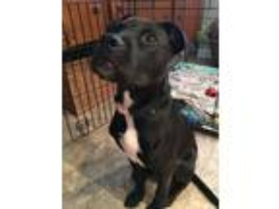 Adopt Axel a Black - with White American Pit Bull Terrier / Labrador Retriever /
