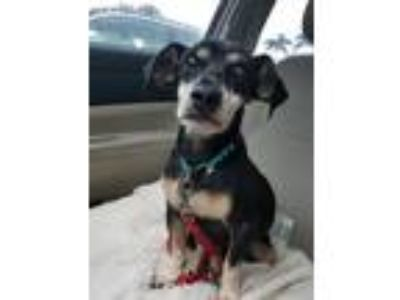 Adopt Harley a Dachshund / Terrier (Unknown Type, Medium) / Mixed dog in North