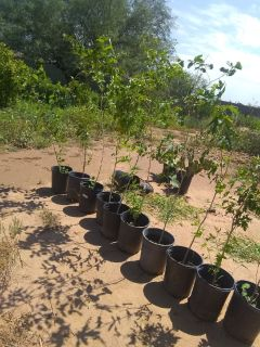 Mulberry Trees  Buy Four Get 5th Free  /  Gourds
