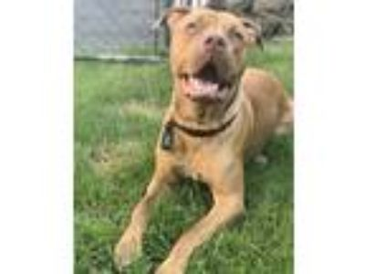 Adopt Thor a Brindle Bull Terrier / Mixed dog in Schaumburg, IL (23259883)
