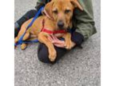 Adopt Kailin a Tan/Yellow/Fawn Labrador Retriever / Mixed dog in Beacon
