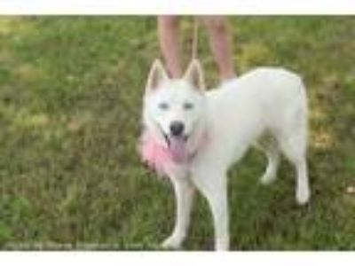 Adopt Zena a White Husky / Mixed dog in Muldrow, OK (25313836)