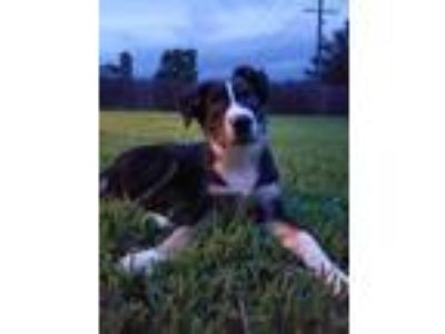Adopt Bear a Border Collie, Australian Shepherd