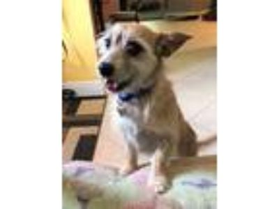 Adopt SNOOKIE a Norfolk Terrier, Wirehaired Terrier