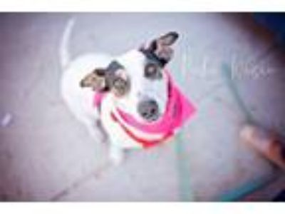 Adopt Lily a Tricolor (Tan/Brown & Black & White) Jack Russell Terrier / Mixed