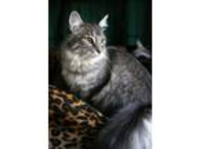Adopt Audi a Maine Coon