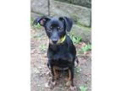 Adopt Echo in NH a Miniature Pinscher, Rat Terrier